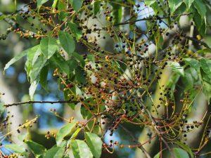 Prunus pilosiuscula
