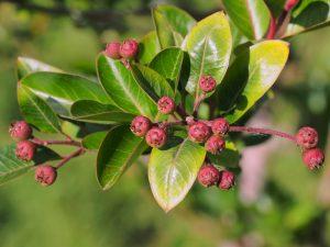 Photinia macrophylla