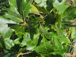 Quercus x bushii 'Seattle Trident'