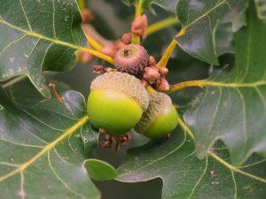 Quercus robar