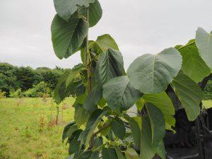 Tilia heterophylla