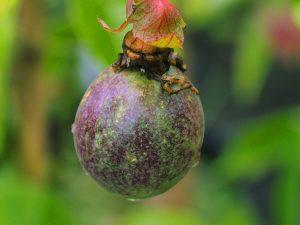Passiflora edulis fruits