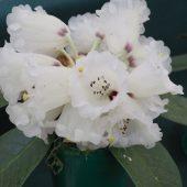 Rhododendron basilicum