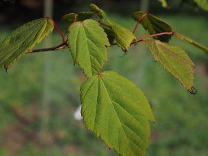 Acer sikkimense