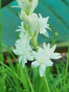 Polyanthes tuberosa