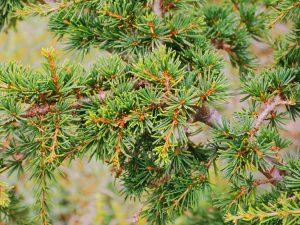Cedrus brevifolia
