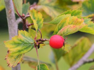 Crataegus ellwangeriana 'Fire Ball'