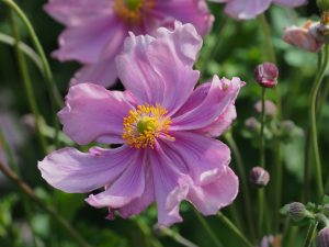 Anemone hupehensis 'Queen Charlotte'