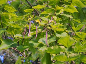Catalpa bignonoides