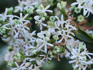 Heptacodium micinoides