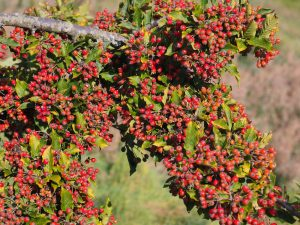 Photinia villosa var. coreana