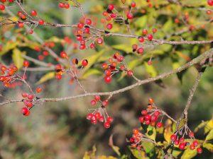 Photinia villosa var. zollingeri