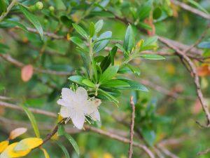 Myrtus communis subsp. tarentina