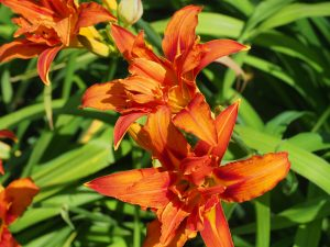 double orange hemerocallis