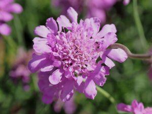 Scabiosa 'Warburton's Pink Mist'