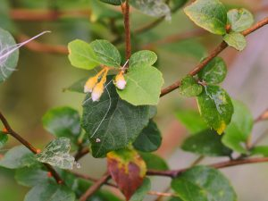 Styrax wilsonii