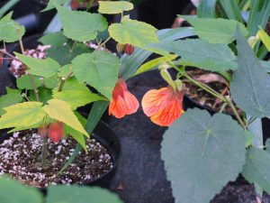 Abutilon 'Red Hot Lava'