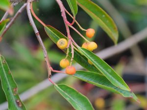 Photinia niitakayamensis