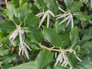 Garrya elliptica 'James Roof'