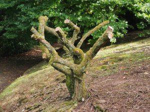 Hydrangea paniculatas
