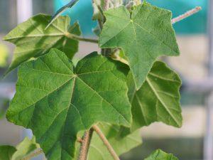 Phymosia umbellata