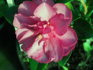 Camellia 'Dazzler'