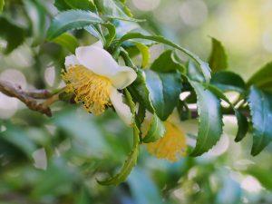 Camellia sinensis (the tea tree)