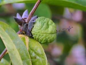Camellia tuberculosa