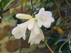 Lapageria rosea var. albiflora