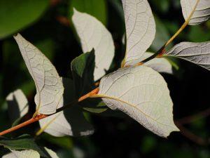 Styrax limprichtii