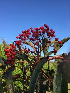 Sorbus wilsoniana