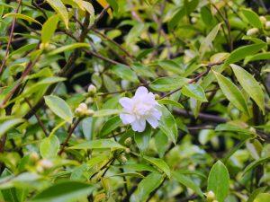 sasanqua clump