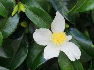 white Camellia sasanqua