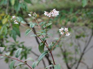 Deutzia calycosa 'Dali'
