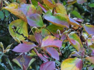 Rhododendron weyrichii