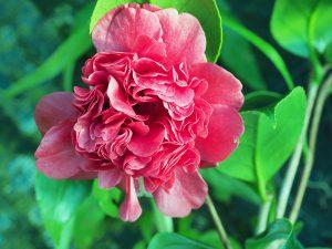 Camellia 'Takanini'