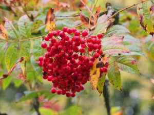 unidentified Sorbus