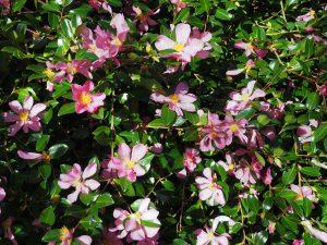Camellia sasanqua 'Rosea Plena'
