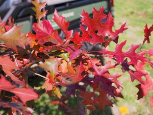 Quercus palustris 'Flaming Suzy'
