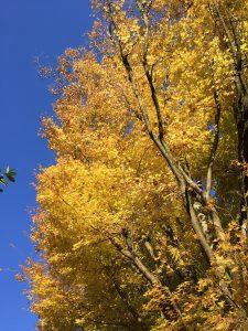 Acer palmatum 'Sango-Kaku