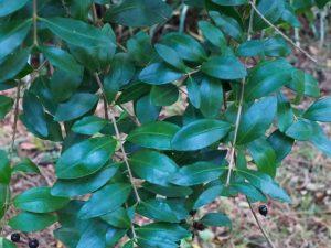 Blepharocalyx cruckshankii