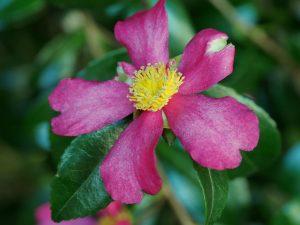 Camellia sasanqua 'Rosea'