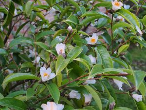 Camellia toberculata