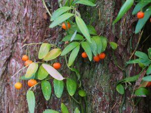 Luzurgia polyphylla