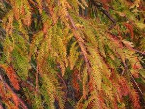 Taxodium distichum 'Falling Waters'