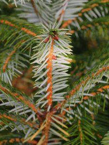 Picea brachystyla