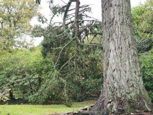 Pinus radiat