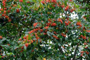Cotoneaster dammeri 'Hybridus Pendulus'