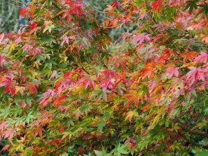 Acer palmatum variety