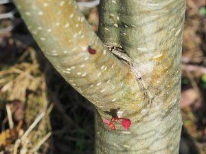 Sorbus ullungdoensis